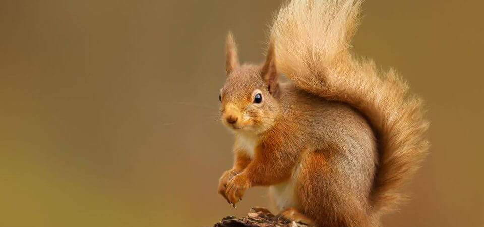 The Return of the Red Squirrel