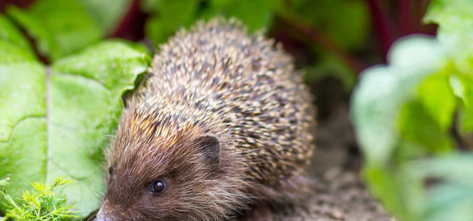 Turn your garden into a hedgehog heaven!