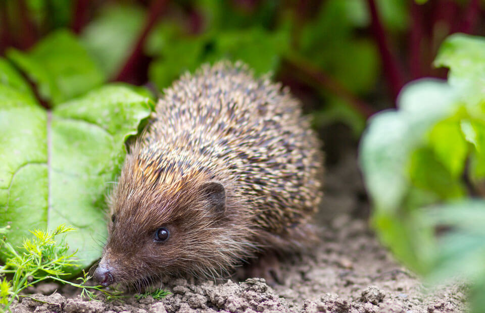 Turn your garden into a hedgehog heaven!